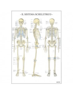 Poster Scientifico Belletti - 67x100 cm - Sistema Scheletrico - MS38PL
