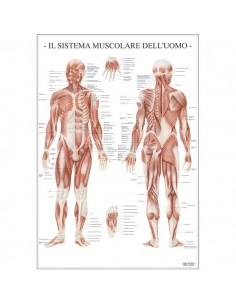 Poster Scientifico Belletti - 67x100 cm - Sistema Muscolare dell'Uomo - MS37PL